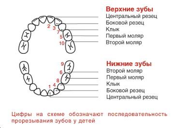 Количество зубов